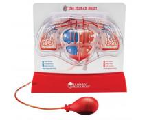 [Sistemul circulator al inimii]
