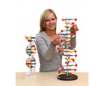 [ADN - Model]