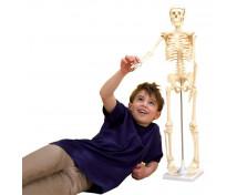 [Scheletul corpului uman, 80 cm]